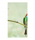 Blue Throated - Decoravinilos -